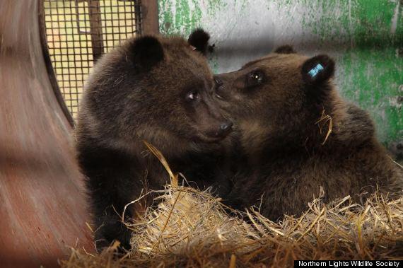 bc bear rescye