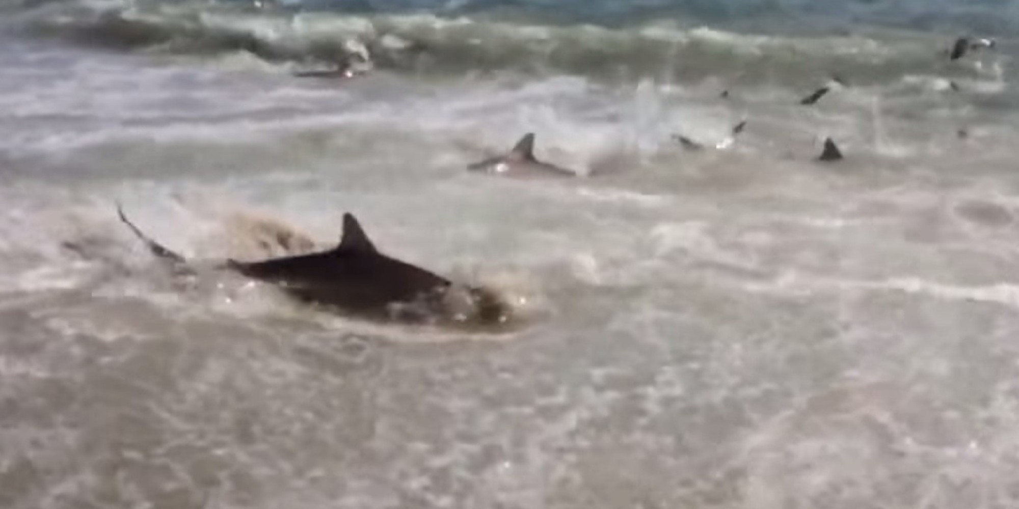 Shark feeding frenzy caught on video at cape lookout for Shark fishing nc