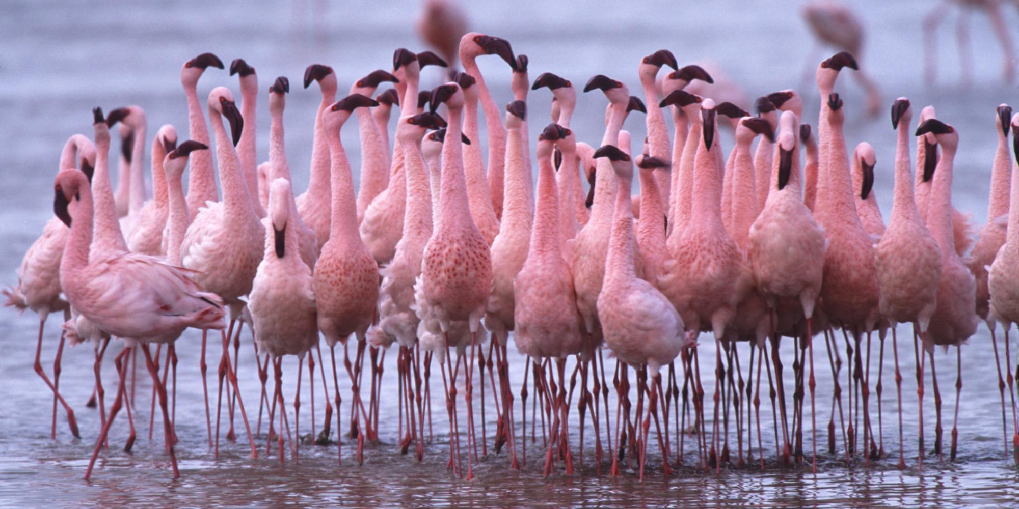 Flamingos: A Makeover for the Flame Birds   HuffPost