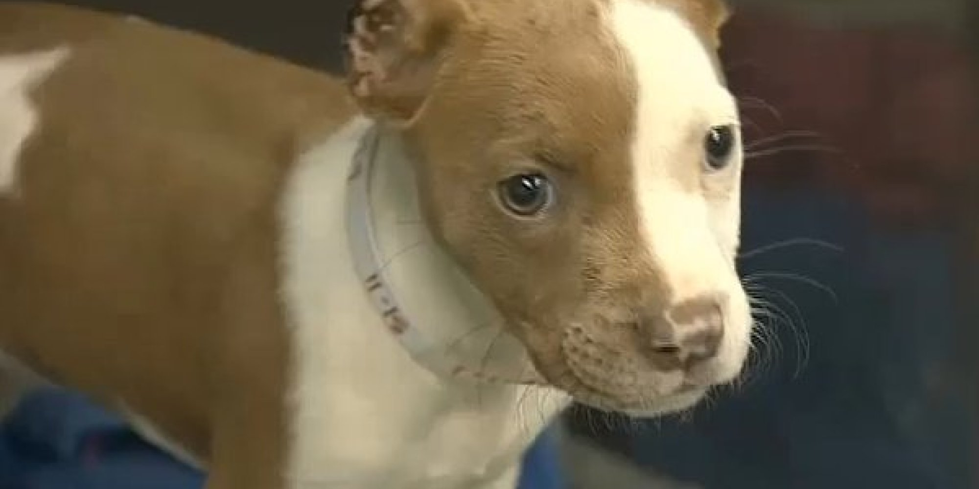 Man Performs At-Home C-Section On Dog, Cut Puppies' Ears ...