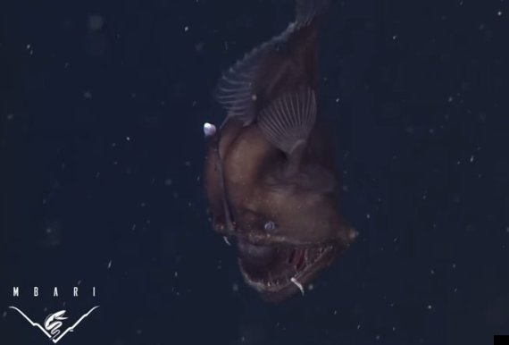 black sea devil fish
