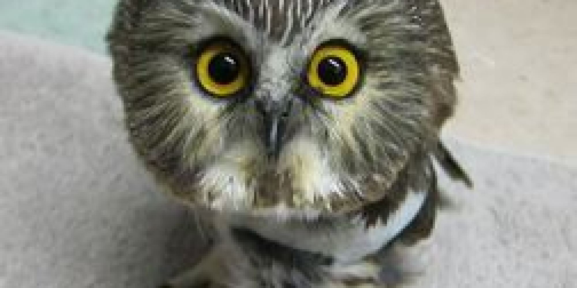 tiny owl hits window huffpost