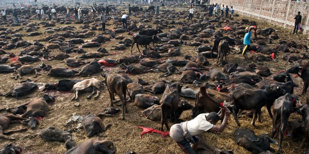 A butcher finishes off a buffalo on the ground with a second swing of his blade on the animal during a mass slaughter of buffaloes for the Gadhimai festival inside a walled enclosure in the village of Bariyapur on November 28, 2014. Millions of Hindu devotees from Nepal and India migrate to the village to honour their goddess of power. The celebrations includes the slaughtering of hundreds of thousands of animals, mostly buffalo and goats. Worshippers have spent days sleeping out in the open and offering prayers to the goddess at a temple decked with flowers in preparation.   AFP PHOTO/ROBERTO SCHMIDT        (Photo credit should read ROBERTO SCHMIDT/AFP/Getty Images)