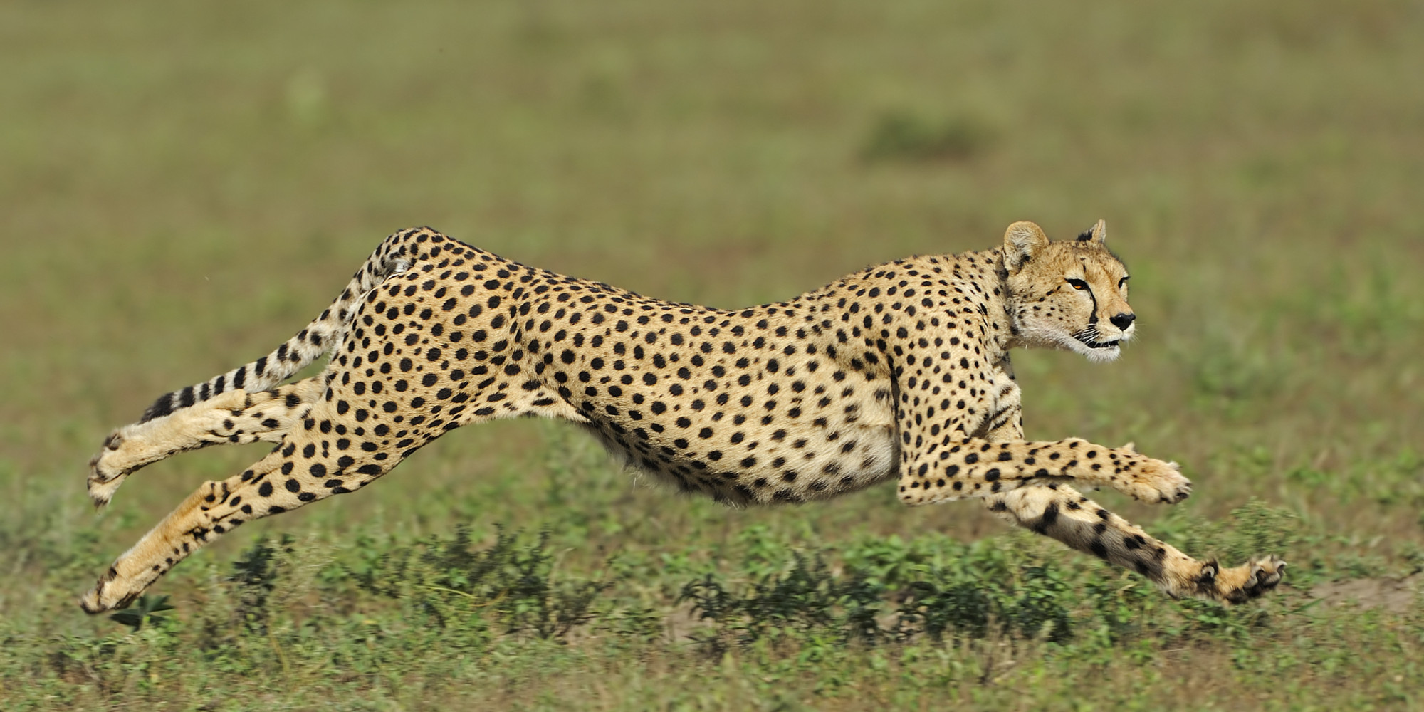 International Cheetah Day Is December 4th HuffPost