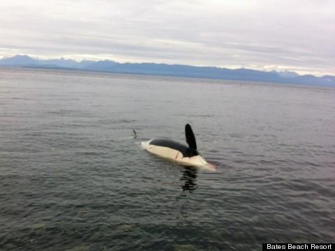 dead orca j32