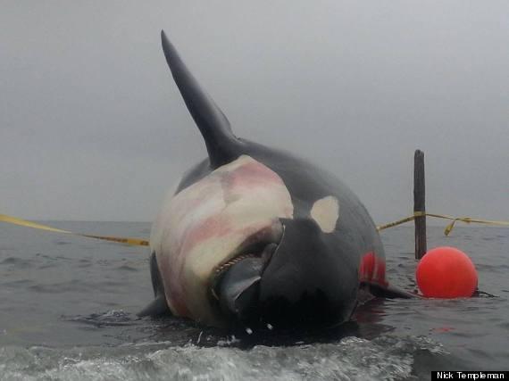 j32 dead orca killer whale
