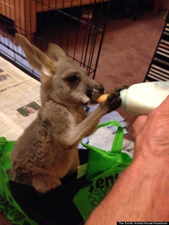 dingo kangaroo