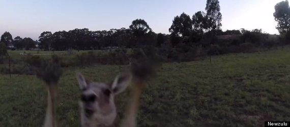 kangaroo vs drone