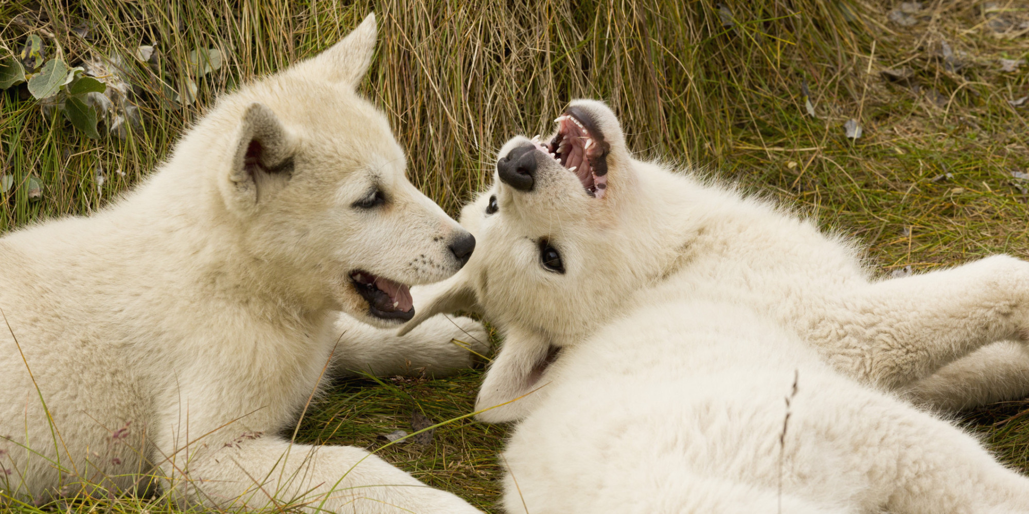 When Dogs Roll Over They May Actually Be Acting Combative