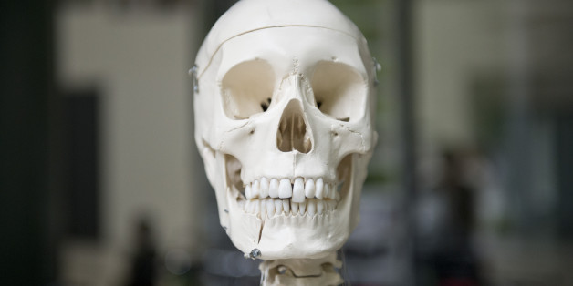 BERLIN, GERMANY - JUNE 05: The model of a skull of a human body on June 05, 2014 in Berlin, Germany. (Photo by Michael Gottschalk/Photothek via Getty Images)