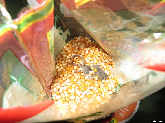 popping corn dead mouse island sun popcorn