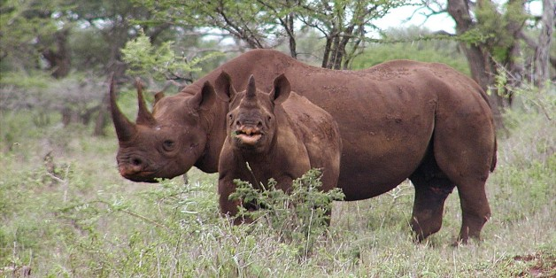 South Africa Moves 100 Rhinos To Undisclosed Locations Outside Country To Fight Poaching