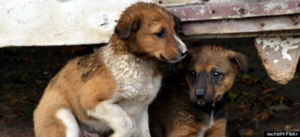 puppy stray