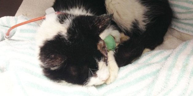 'Zombie Cat' Should Not Go Back To Owner Who Buried Him Alive: Humane Society