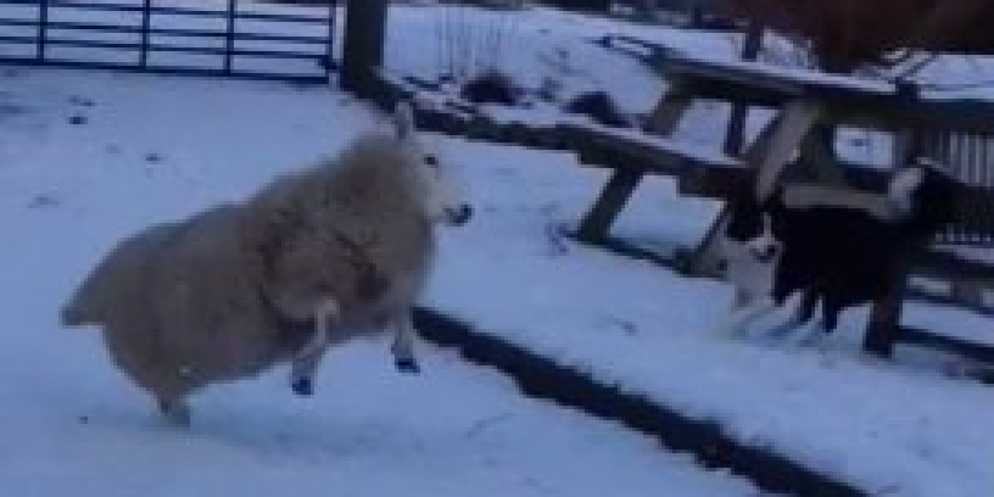 35  Great Happy Sheep for Happy Sheep Gif  303mzq