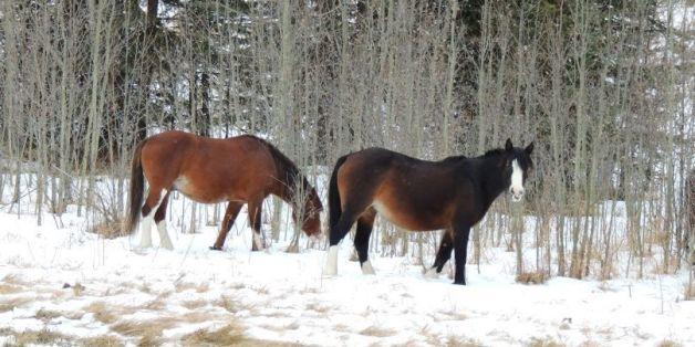 The wild horses of David Thompson Country, Alberta
