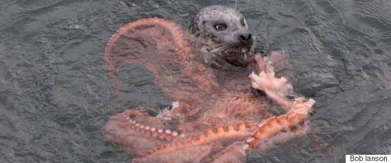 seal vs octopus