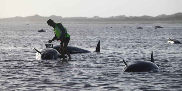 A Department of Conservation worker tends to a whale stranded on Farewell Spit, a famous spot for whale beachings, in Golden Bay on New Zealand's South Island, Friday Feb. 13, 2015. Nearly 200 pilot whales stranded themselves on New Zealand's South Island on Friday, with hordes of rescuers rushing to the remote area in a bid to guide them back to sea. (AP Photo/New Zealand Herald, Tim Cuff) AUSTRALIA OUT; NEW ZEALAND OUT