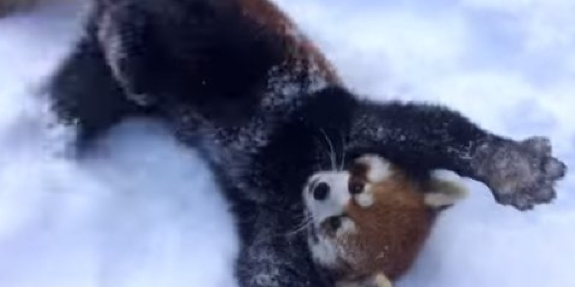 These Red Pandas From The Cincinnati Zoo Are So Excited About Snow Huffpost