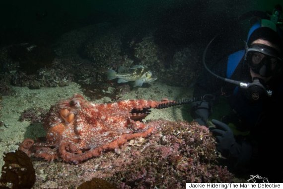 octopus diver port hardy bc
