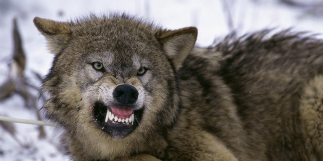 Experten erwarten Angriffe von Wölfen auf Menschen