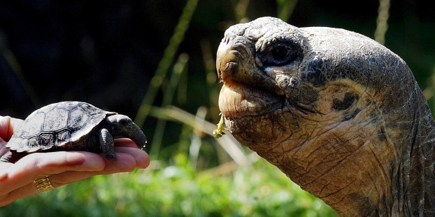 A newly hatched Giant Galapagos tortoise, left, is shown in the Zurich zoo next to an adult animal, Wednesday July 21, 2004. The Giant Galapagos turtle is an endangered species. (AP Photo/Keystone, Walter Bieri)
