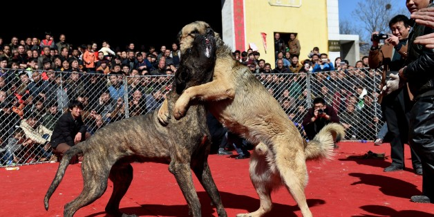 Two dogs fight during a dogfight contest in Zezhang township in Yuncheng, north China's Shanxi province to mark the lantern festival on March 3, 2015. While banned in some countries, dogfights are a common attraction in this indigenous region which hosts more than 100 festivals each year attracting visitors from neighboring provinces and tourists alike. CHINA OUT   AFP PHOTO        (Photo credit should read STR/AFP/Getty Images)