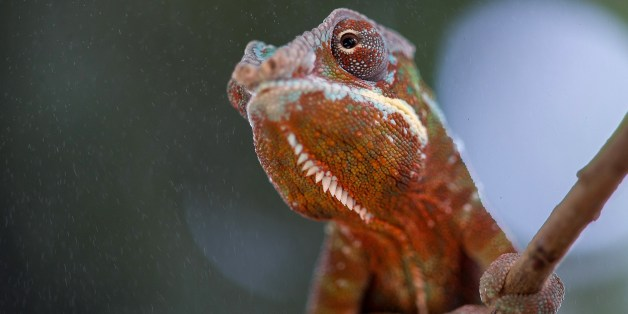 A baby chameleon sits in its enclosure at the Planet of Crocodiles in Civaux near Poitiers, western France, on August 28, 2014. Around 200 crocodiles from various species live in the zoo, whose pools use a system that recovers the heat produced by the water from the neighbouring nuclear power plant. AFP PHOTO/ GUILLAUME SOUVANT        (Photo credit should read GUILLAUME SOUVANT/AFP/Getty Images)