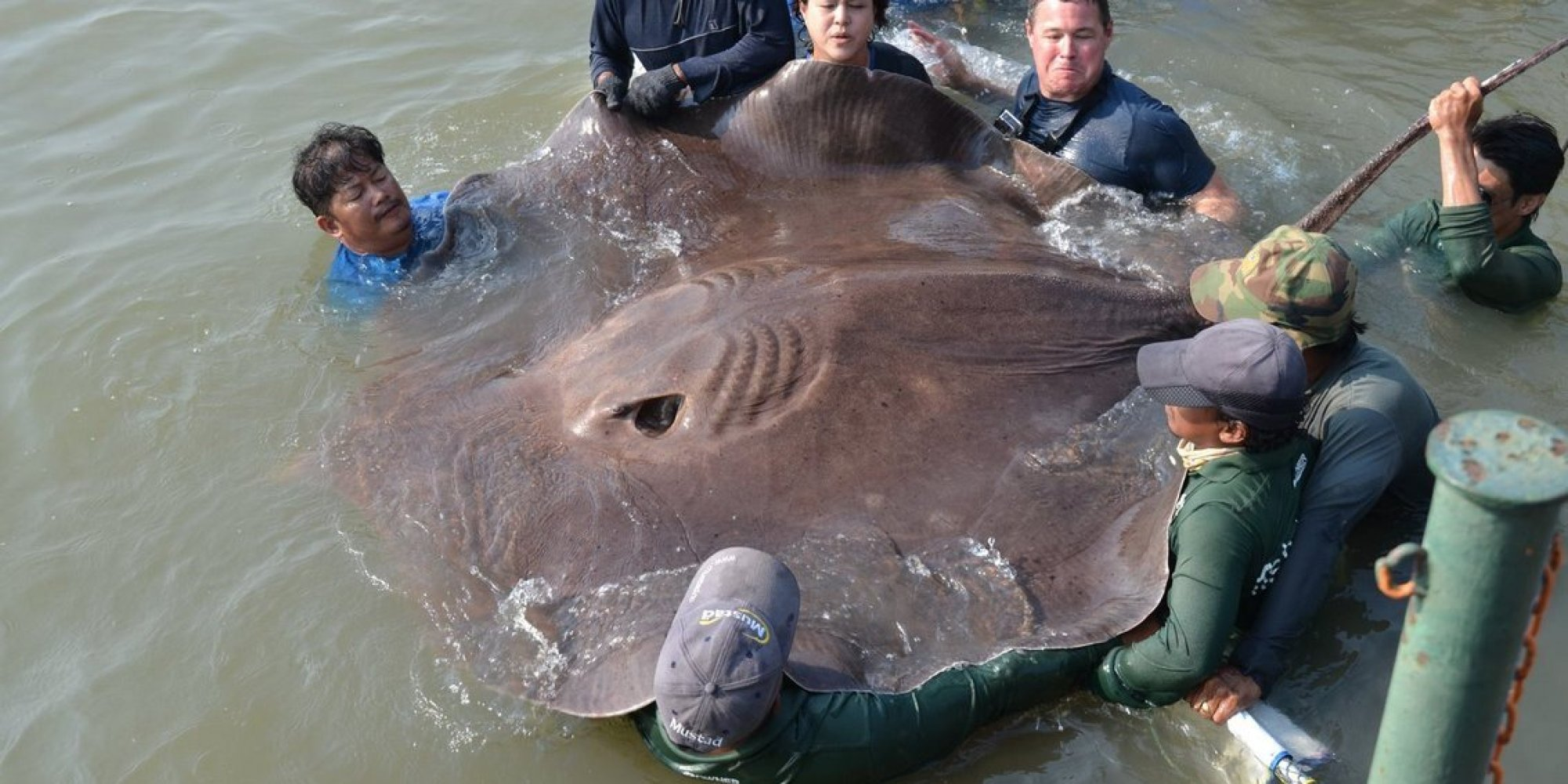 This Pregnant Stingray Might Be The Largest Freshwater ...