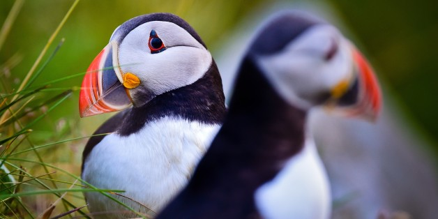Two Atlantic puffins (Fratercula arctica) is pictured on Norwegian island Runde (Goksyr) near Alesund, Norway, 12 July 2014. The Atlantic puffin is about as tall as a domestic pigeon. Photo: Patrick Pleul/dpa