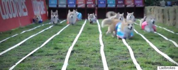 royal baby corgi race