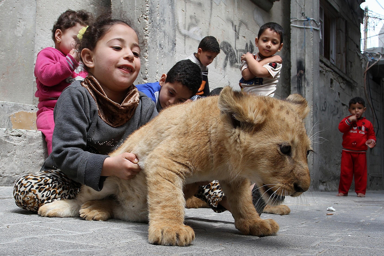 palestine lions