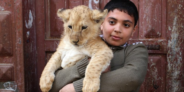 RAFAH, GAZA - MARCH 19: A kid holds a lion cub outside the home of Gazan man, Sadettin al Jamal (R), 50, in Rafah, Gaza Strip on March 19, 2015. Sadettin al Jamal who stays at Shabbura refugee camp, near Rafah at the southern edge of the Gaza Strip, have been living with the lion cubs at his home for about three months after he bought them from a zoo and he spends most of his time with the cubs. (Photo by Abed Rahim Khatib/Anadolu Agency/Getty Images)