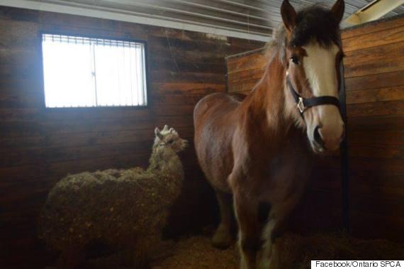 horse alpaca
