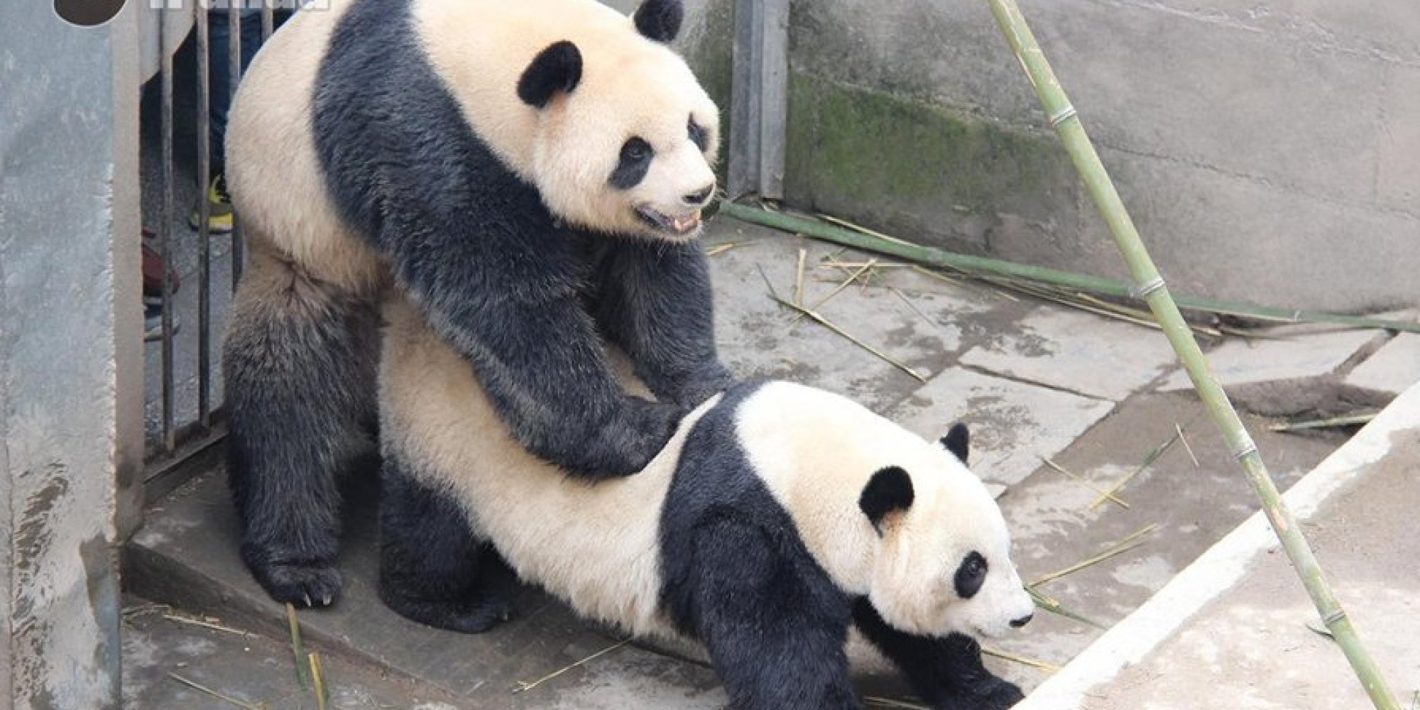 Pandas Set Record With Epic Sex Marathon (NSFW)