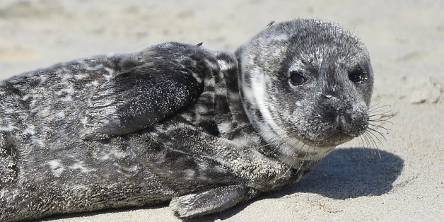 A distressed harbor seal pup lays stranded in the sand in Laguna Beach, California, March 30, 2015.  The seal will be taken back to the Pacific Marine Mammal Center where it will be nursed back to health and eventually released back into the ocean.  Record numbers of starving baby sea lions continue to wash ashore in California and the problem has shown no sign of abating.  According to the New York Times, experts suspect that unusually warm waters are causing food to become more scarce, causing
