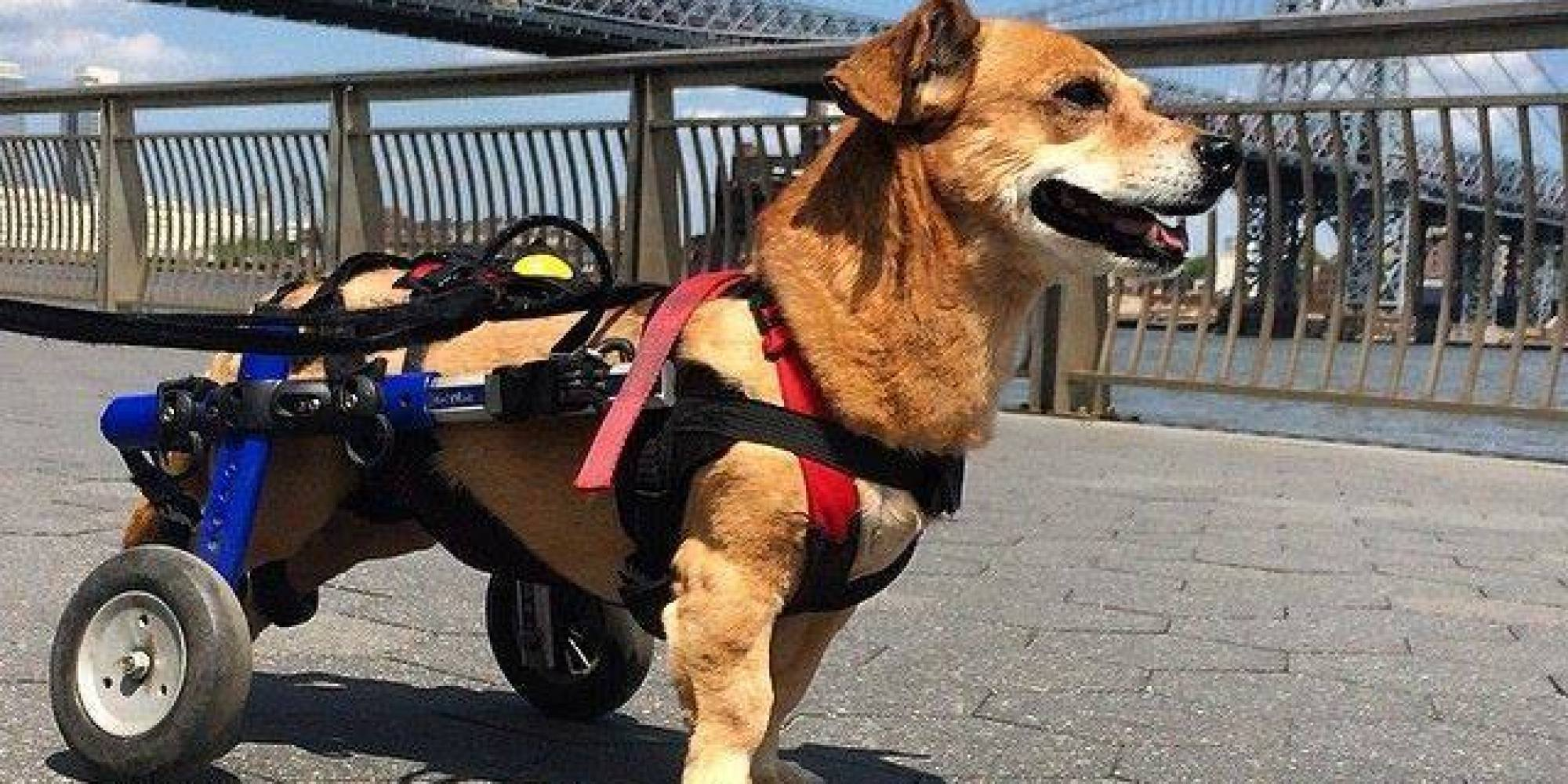 Oscar The Dog Is The Picture Perseverance After A Wheelchair
