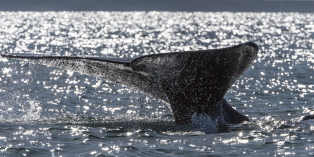 A grey whale (Eschrichtius robustus) dives into the Ojo de Liebre Lagoon, Baja California Sur state, Mexico on March 3, 2015.  The Pacific gray whales have been protected since 1947, and are at the center of a growing whale-sightseeing industry. Their numbers have dropped by a third, from around 26,000, in the late 1990s. Whales  go to Laguna de Liebre and others Lagoons, off Mexico's northwest Baja California peninsula, where grey whales breed and nurse their calves each year after migrating th