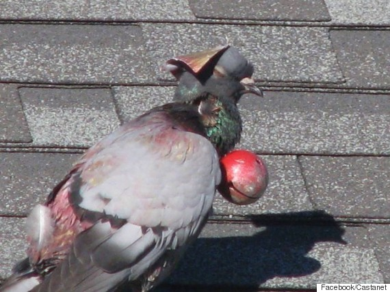 pigeon forced to wear hat bell sparks penticton investigaton