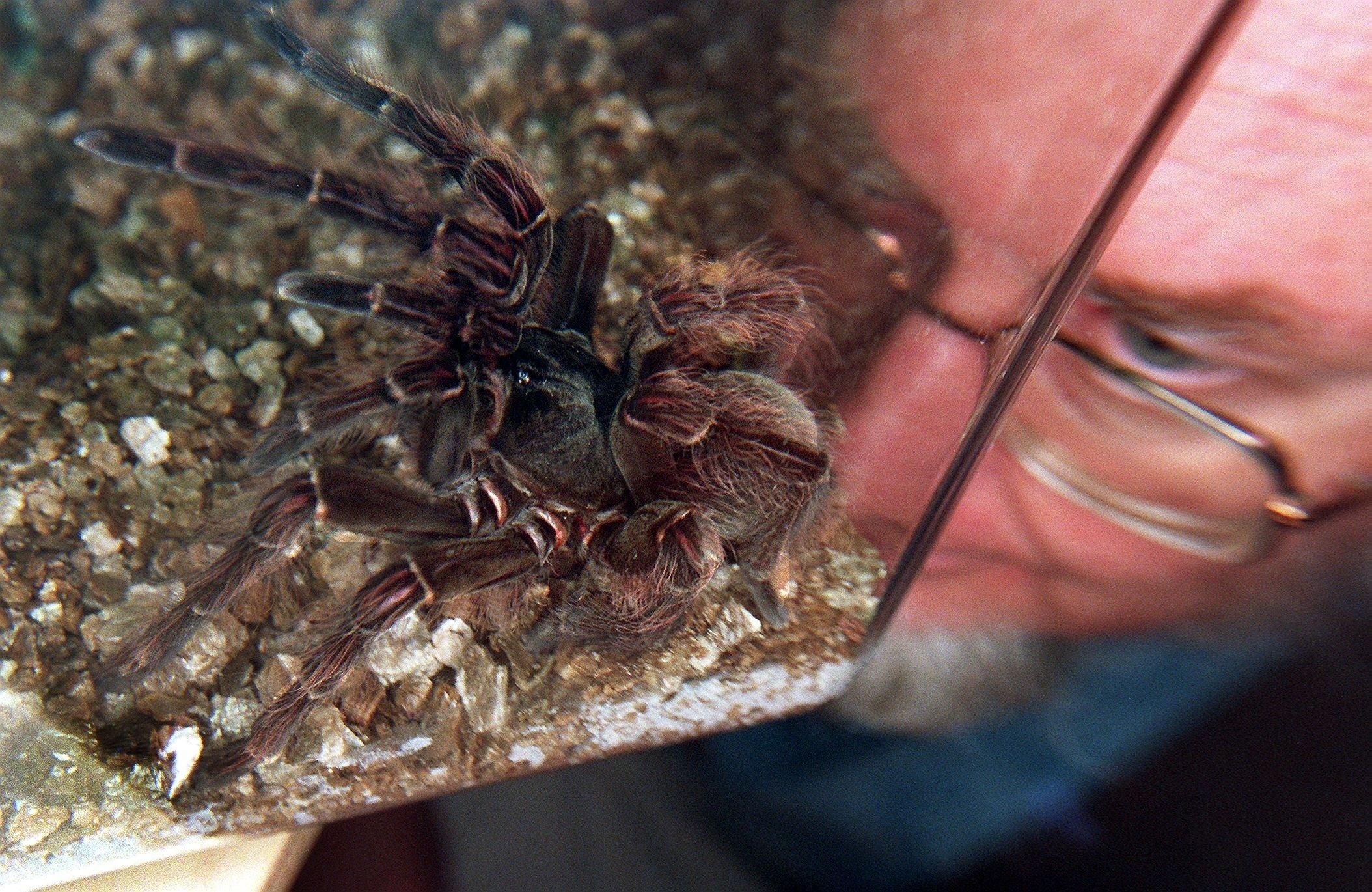 Tarantula eating bird