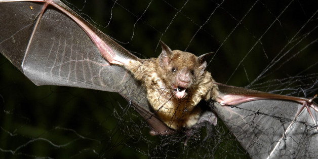 A vampire bat is caught in a net in Aracy, in the northeast Amazon state of Para, Brazil, on Thursday, Dec. 1, 2005. The bat is being studied for research by assistants at  the Goeldi Museum Research Institute of Belem. Continued deforestation of the Amazon region has sent thousands of displaced vampire bats carrying rabies sweeping across northern Brazil, where the flying mammals have bitten over a thousand people, and left 23 dead over the past two months,  authorities said.  (AP Photo/Mario Quadros)