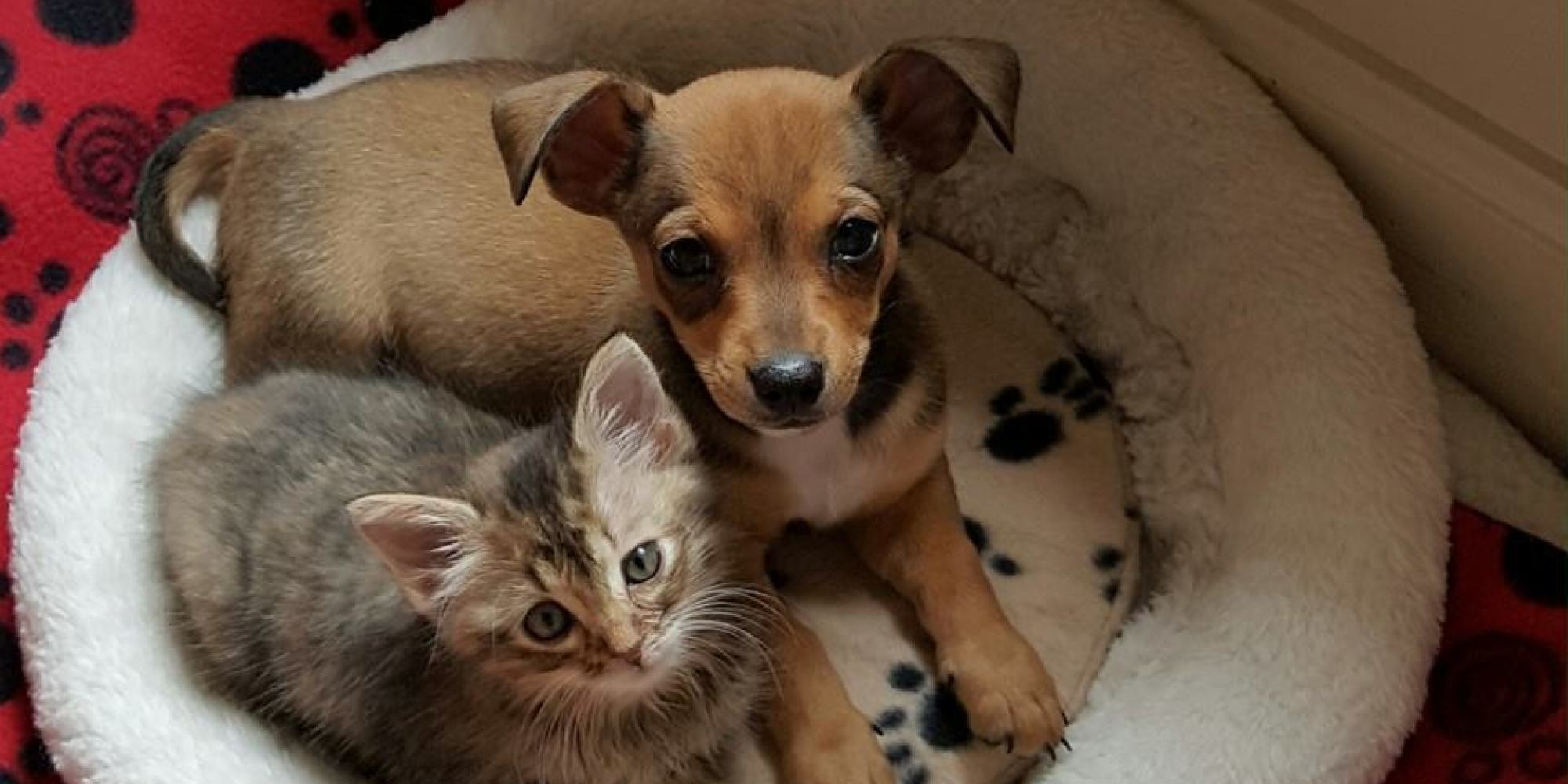 Ridiculously Adorable Chihuahua And Kitten BFFs Need A Permanent