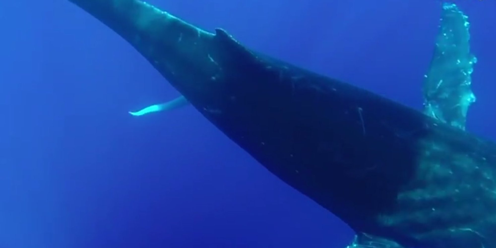 Blue Whales Penis