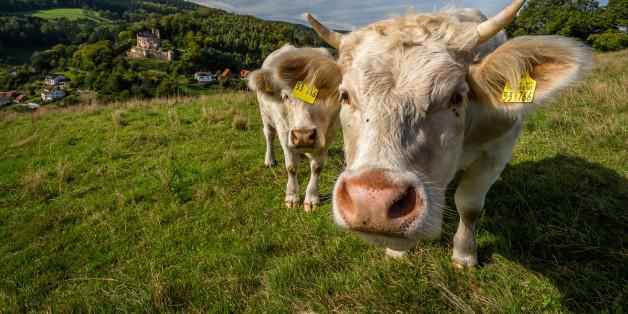 <HH--PHOTO--COW--2873838--HH>