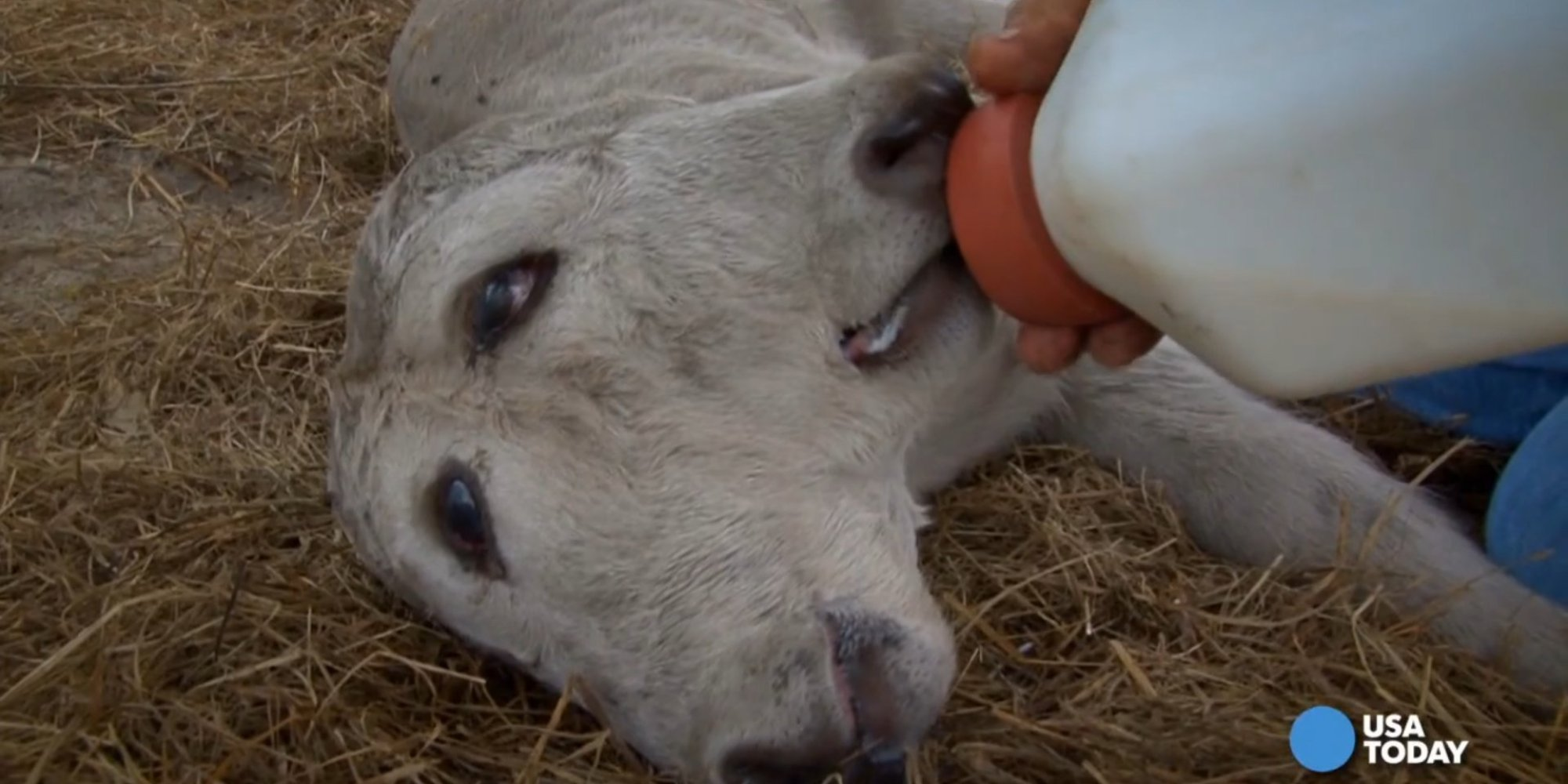 Cow Born With Two Faces | HuffPost - photo#20