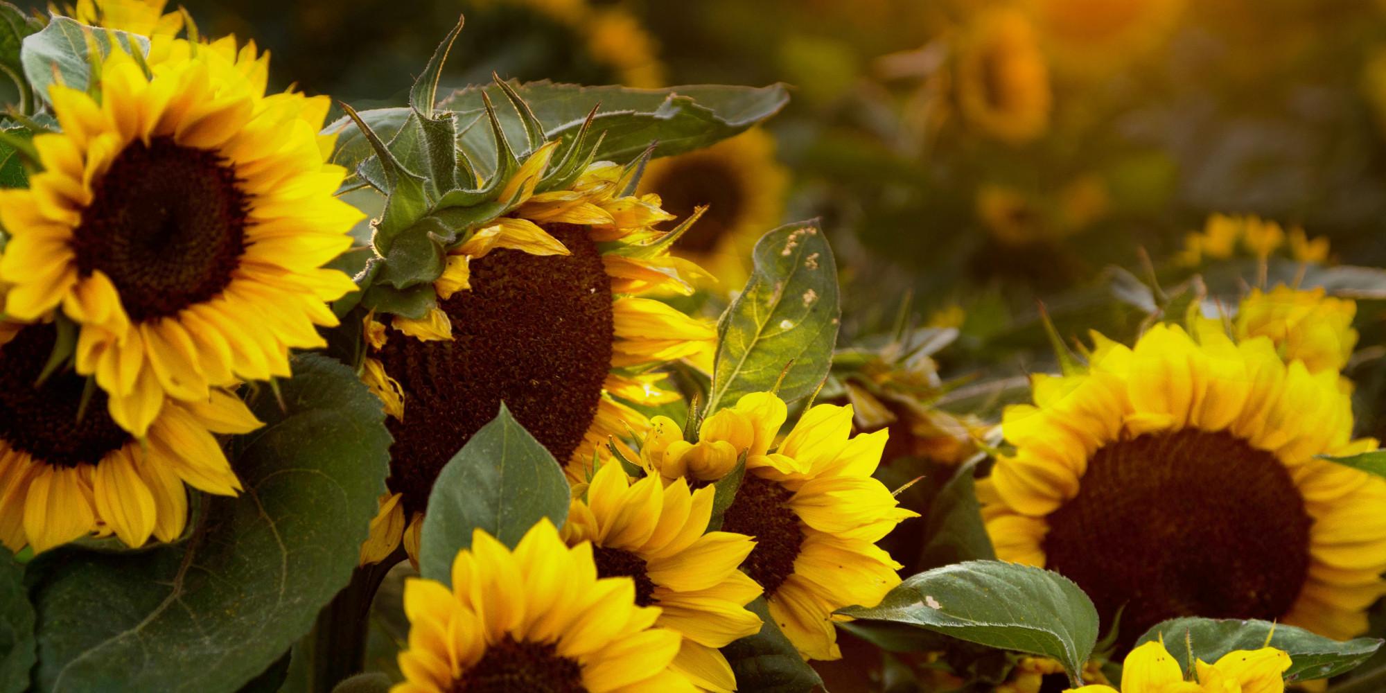 Sunflower Sutra - Poem by Allen Ginsberg