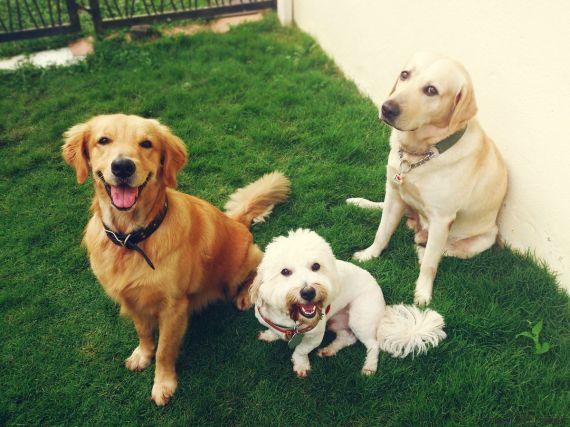 happy hounds