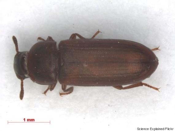 tribolium beetles