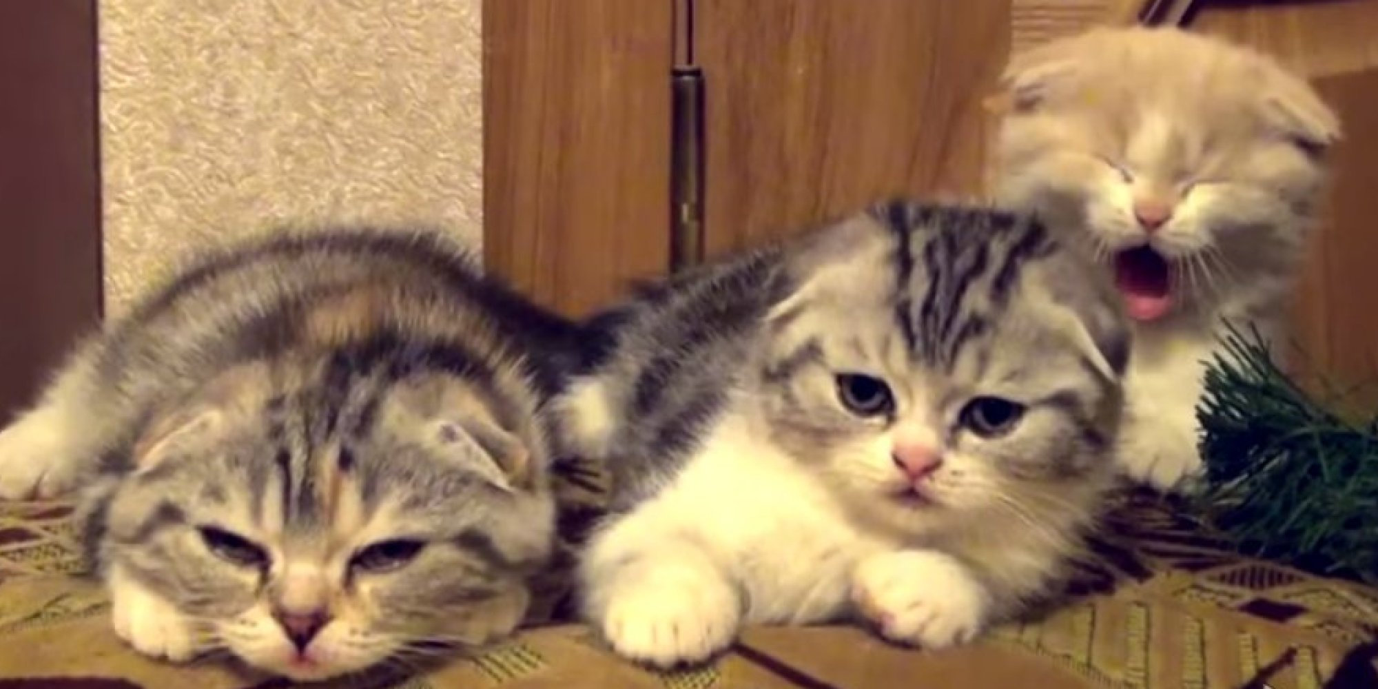 Watch These Adorable Kittens And Just Try Not To Yawn ... Yawning Kitten