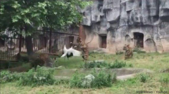 grue tigres